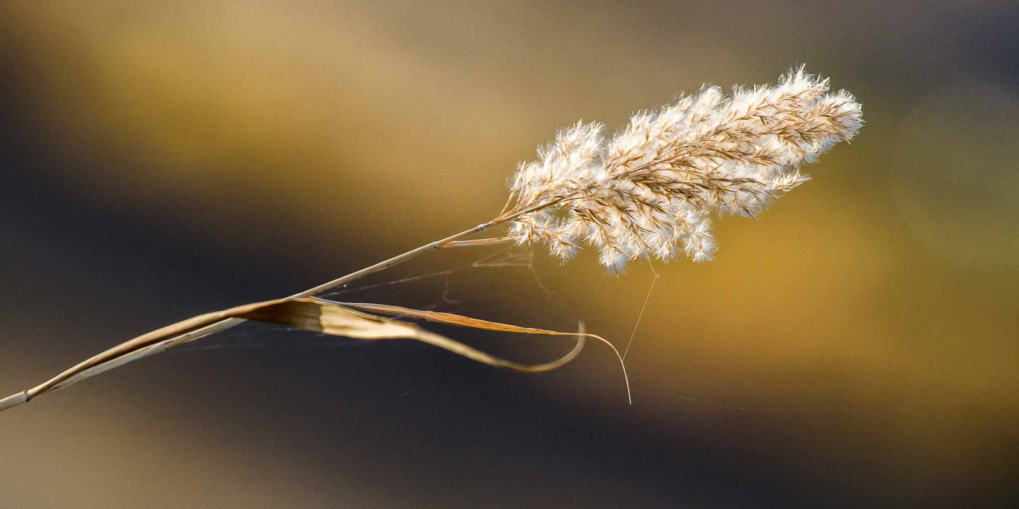image of dried marsh grass seed head