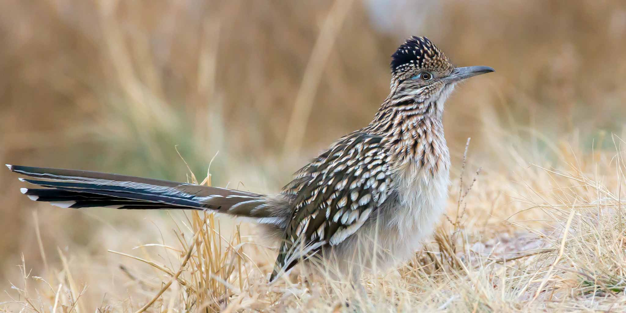 Greater Roadrunner, Bosque del Apache National Wildlife Refuge, San Antonio NM, December 12, 2013