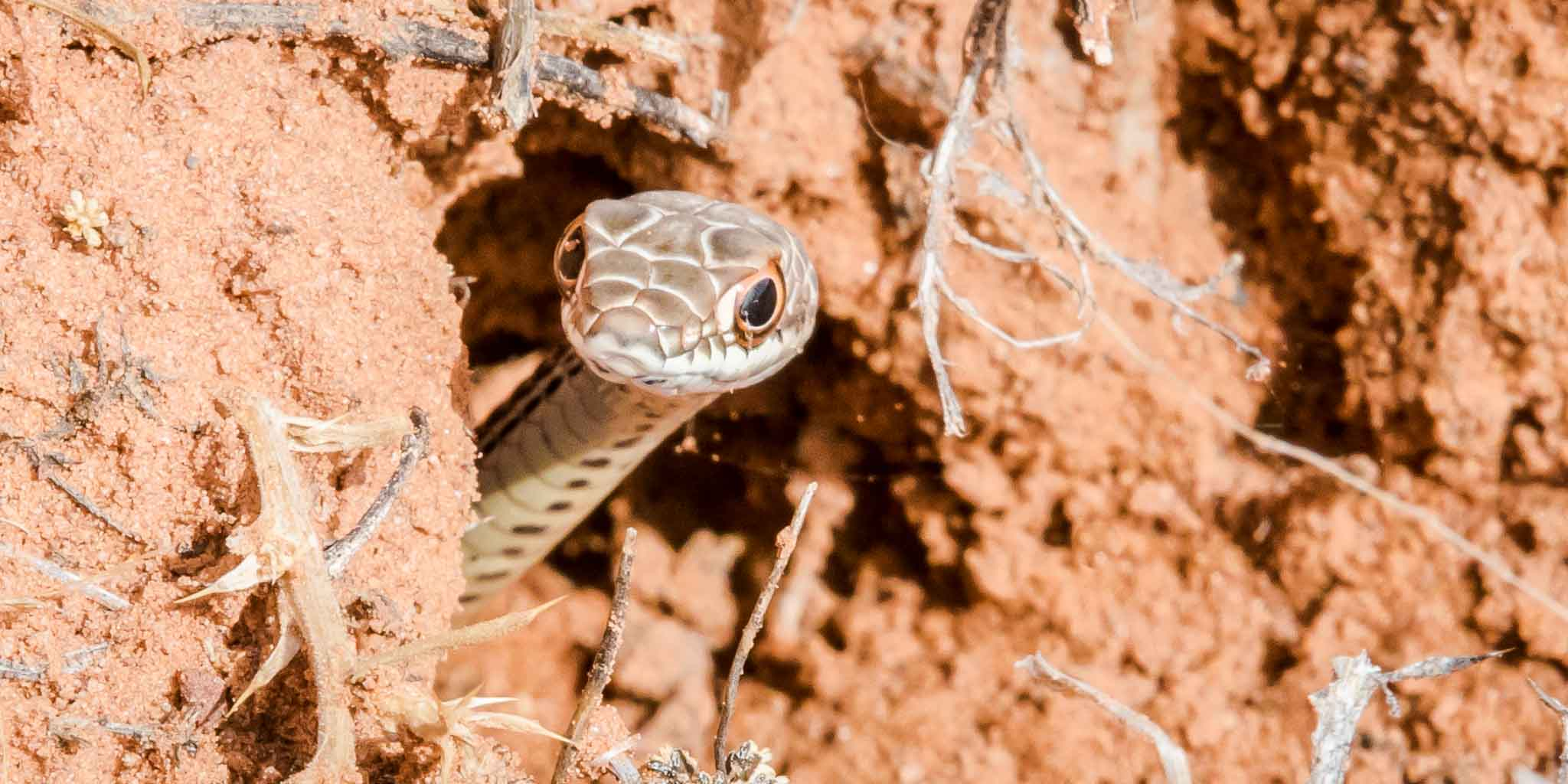 Western Patch-nosed Snake peering from burrow, Lockhart Road, Monticello UT