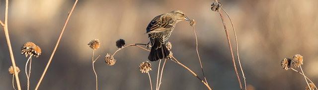 Female Red-winged Blackbird and Sunflower Seed Head, Bosque del Apache National Wildlife Refuge, San Antonio NM, January 1, 2014