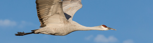 Sandhill Crane in Flight, Bosque del Apache National Wildlife Refuge, San Antonio NM, January 3, 2014