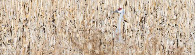 Sandhill Crane in a corn field, Bernardo Wildlife Management Area, Bernardo NM, January 11, 2014