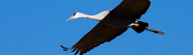 Sandhill Crane flying, Bernardo Wildlife Management Area, Bernardo NM, January 11, 2014