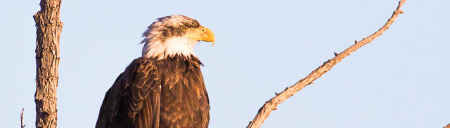 Bald Eagle, fourth year juvenile, Bosque del Apache National Wildlife Refuge, San Antonio NM, February 7, 2014