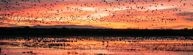 Sandhill Cranes and Snow Geese at sunrise at Bosque del Apache National Wildlife Refuge, San Antonio NM, November 11, 2014