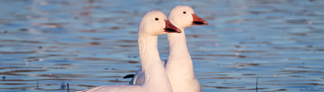 Snow Goose at sunrise, Bosque del Apache National Wildlife Refuge, San Antonio NM, November 20, 2014