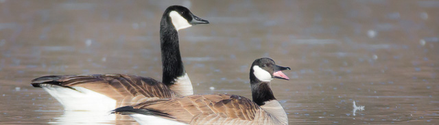 Swimming Canada Geese, Bosque del Apache National Wildlife Refuge, San Antonio NM, January 20, 2015