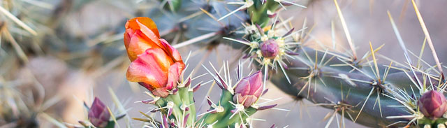 Cholla blossom and buds, Pancho Villa State Park, Columbus NM, April 22, 2016
