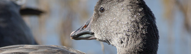 Portrait of a juvenile snow goose, dark morph, Bosque del Apache National Wildlife Refuge, San Antonio NM, November 18, 2016