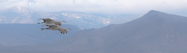 Sandhill Crane pair flying to Farm Fields, Bosque del Apache National Wildlife Refuge, San Antonio NM, snowy Magdalena Mountains in background, December 3, 2016