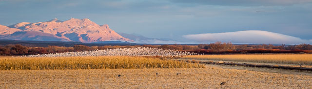 Snow Geese blasting off from farm field at sunrise, Bosque del Apache National Wildlife Refuge, San Antonio NM, January 1, 2017