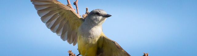 Western Kingbird taking flight, Pancho Villa State Park, Columbus NM, April 20, 2017