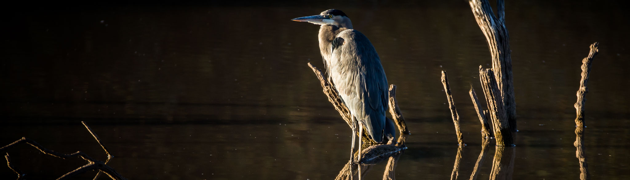Great Blue Heron standing atop a tree stump, Bosque del Apache National Wildlife Refuge, San Antonio NM,  October 30, 2017
