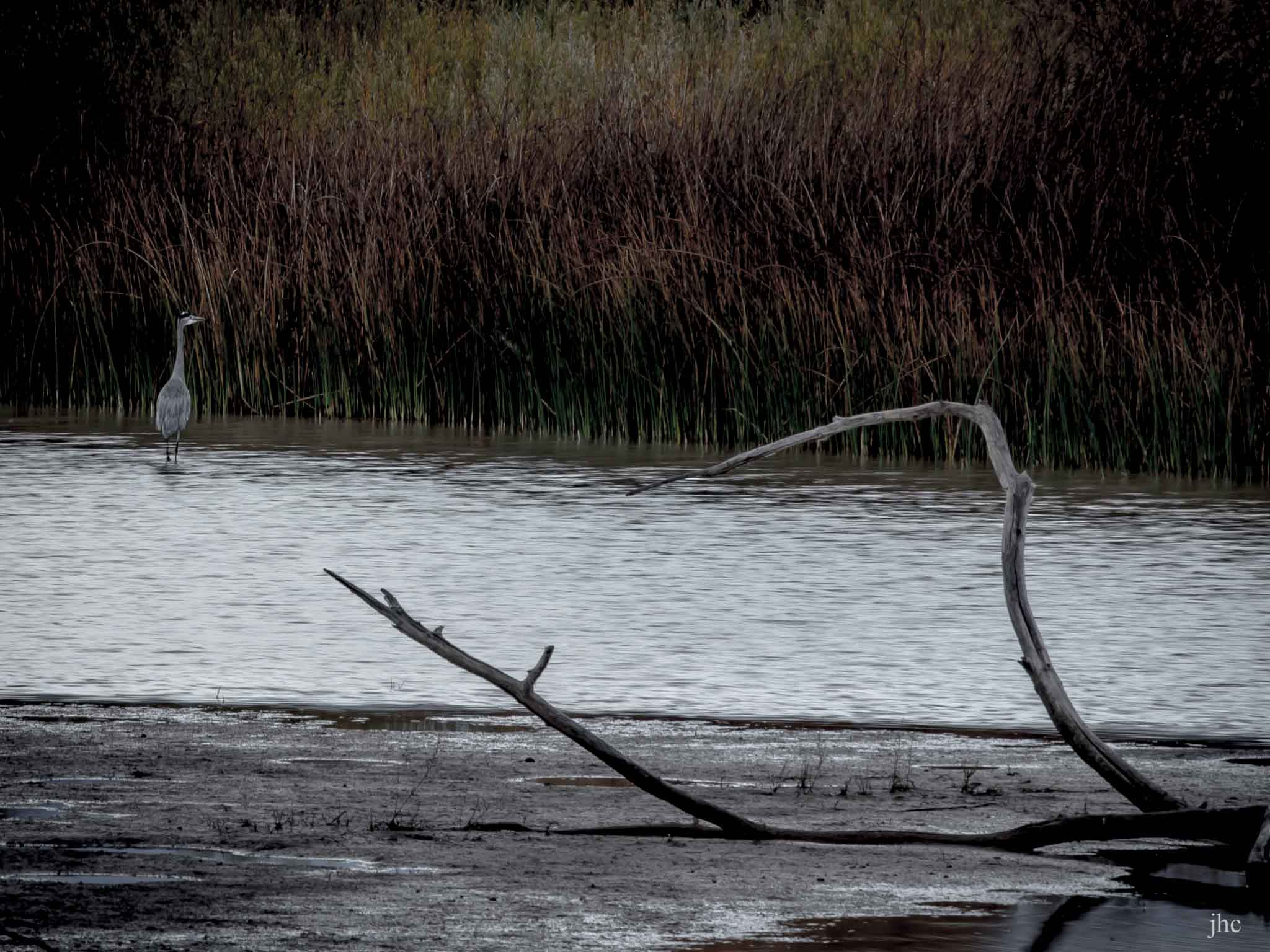 Morning at the Bar, Great Blue Heron