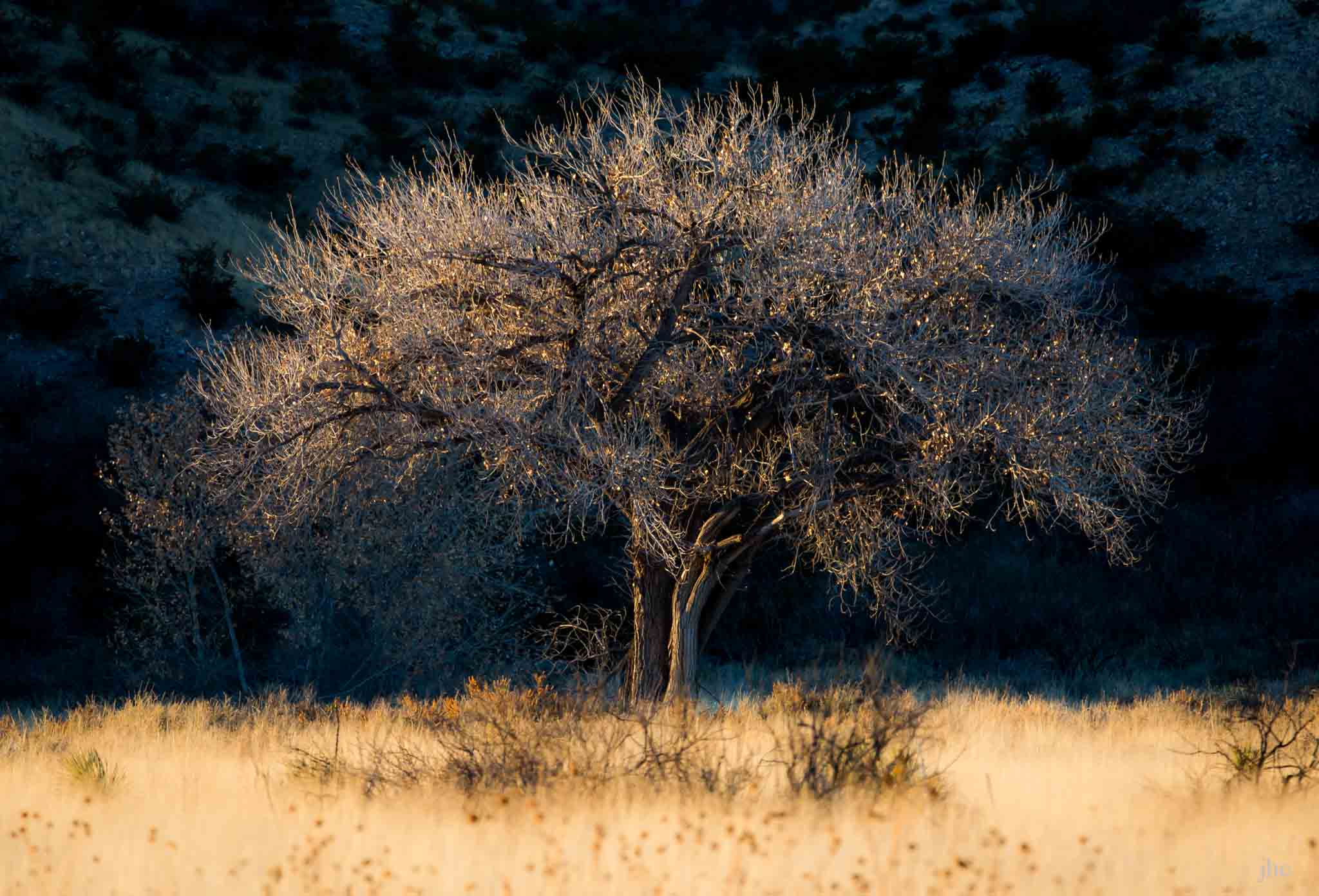 image of a Cottonwood tree at Sunset