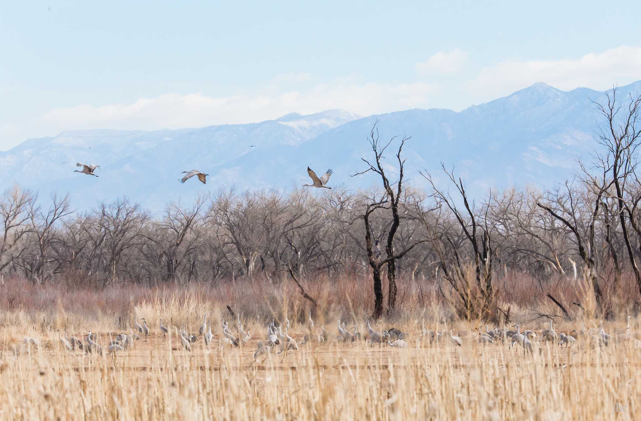 Sandhill Cranes flying out, Bernardo Wildlife Management Area, Bernardo NM, February 8, 2014