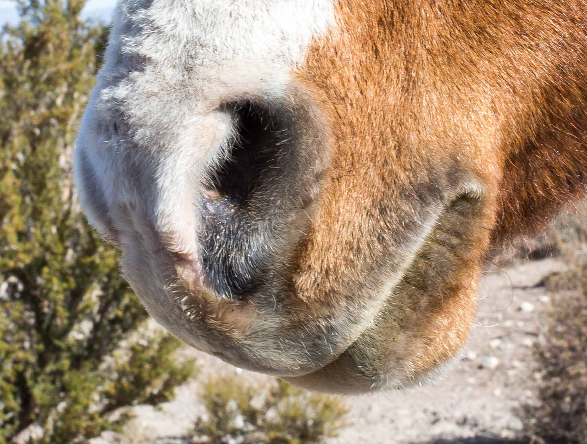 Horse nose, closeup of wild horse at Cold Creek NV, October 22, 2014
