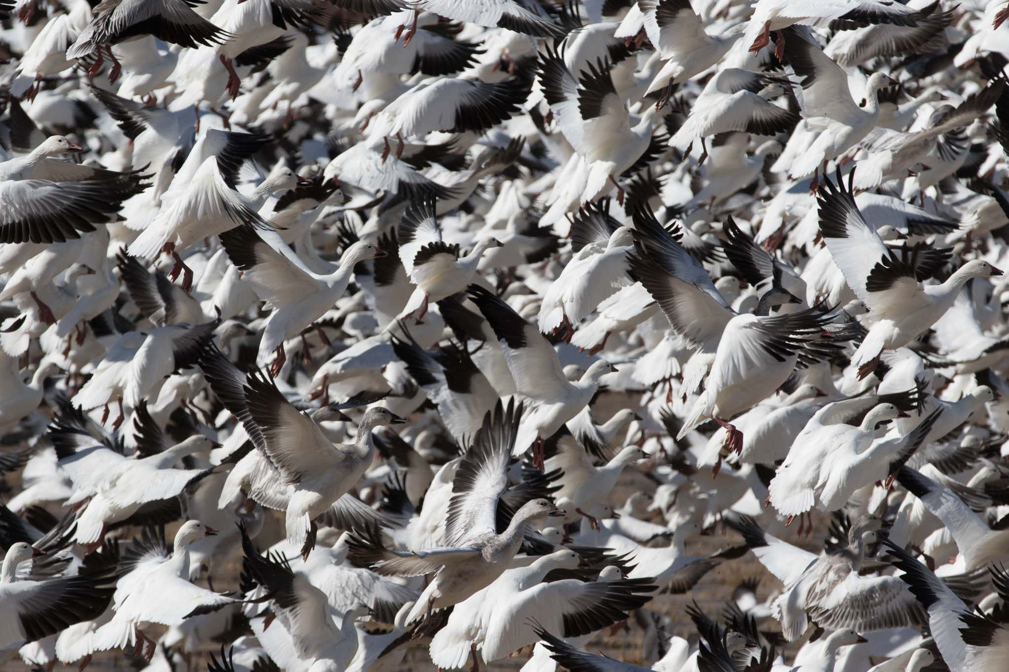 Snow Geese Taking Off, Bosque del Apache National Wildlife Refuge, San Antonio NM, November 23, 2014