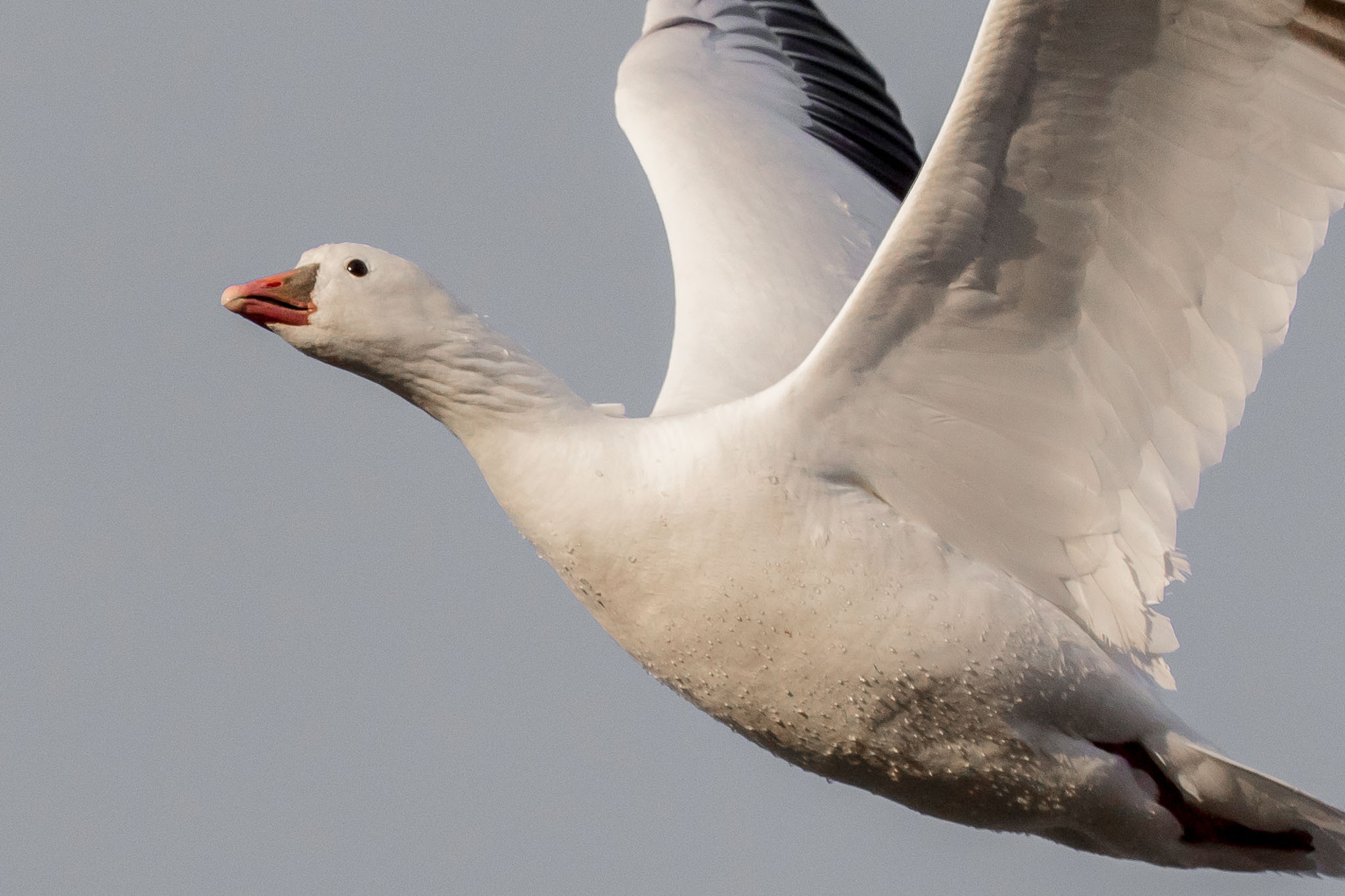 Ross's Goose flying from roost, Bosque del Apache National Wildlife Refuge, San Antonio NM, December 20, 2014