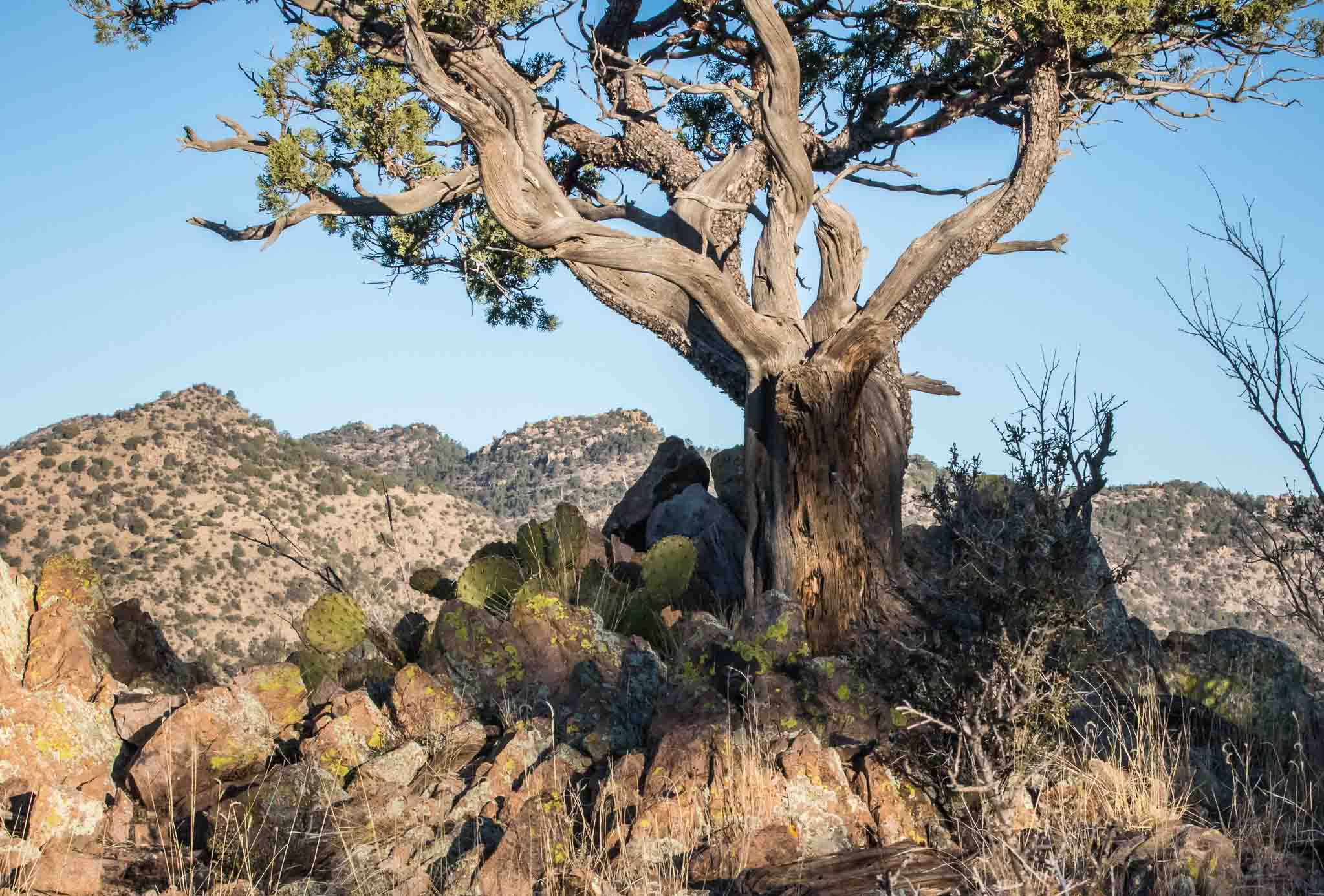 Juniper at Daybreak, Overlooking Noonday Canyon, Gila National Forest, San Lorenzo NM, February 28, 2016