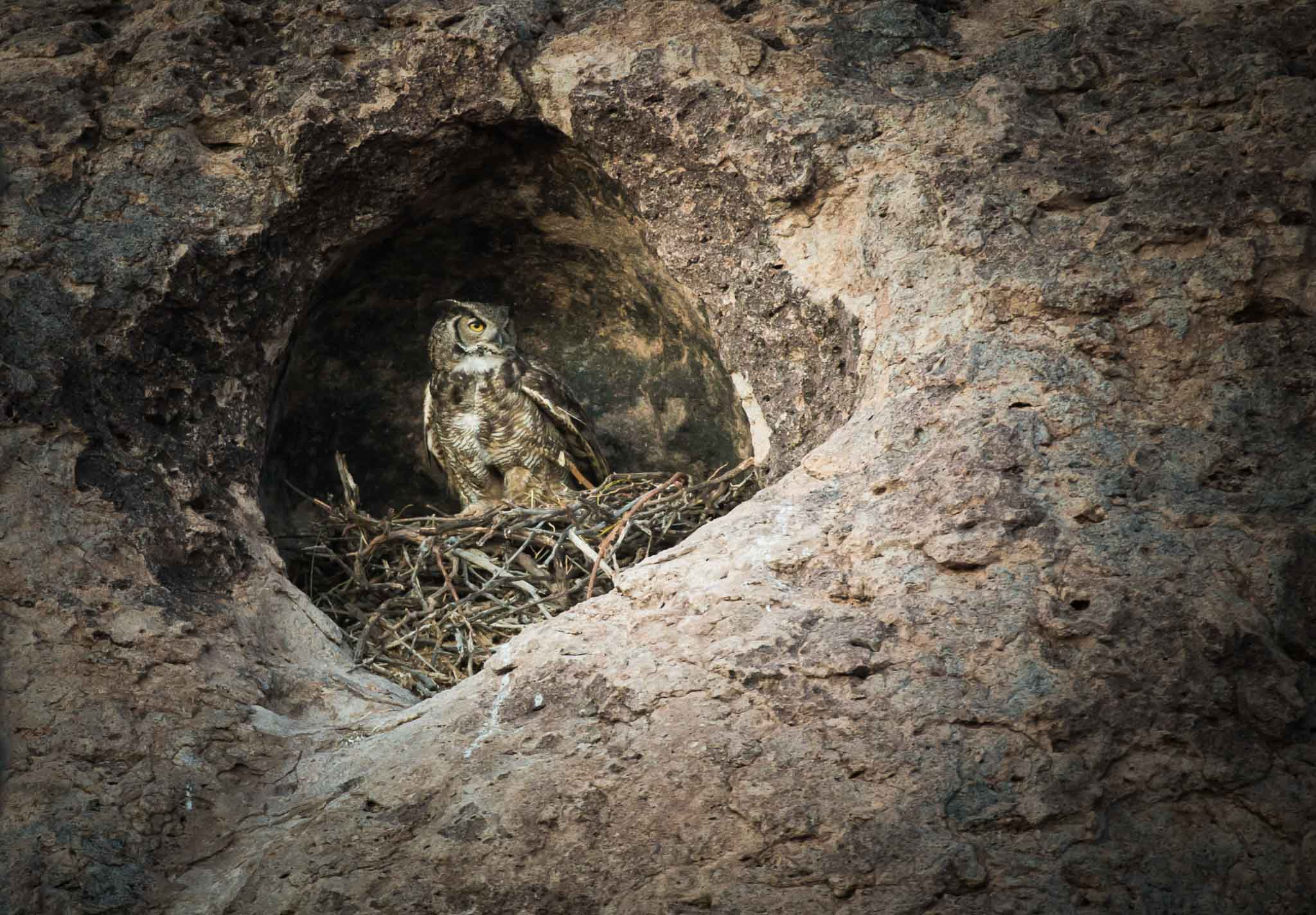 Great Horned Owl on nest in rock, City of Rocks State Park, Faywood NM, April 11, 2016