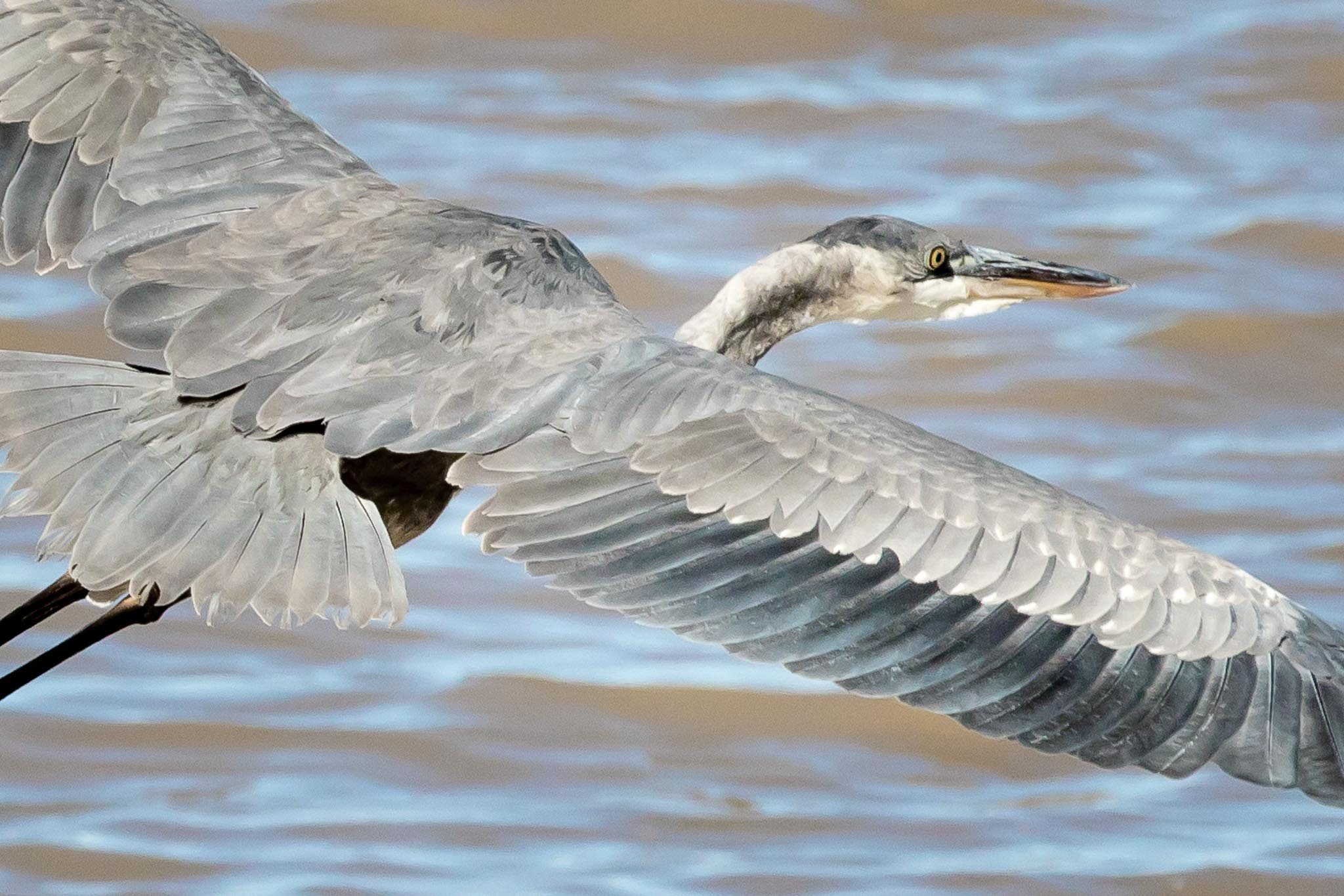 Great Blue Heron flying over pond, Bosque del Apache National Wildlife Refuge, San Antonio NM, October 23, 2017