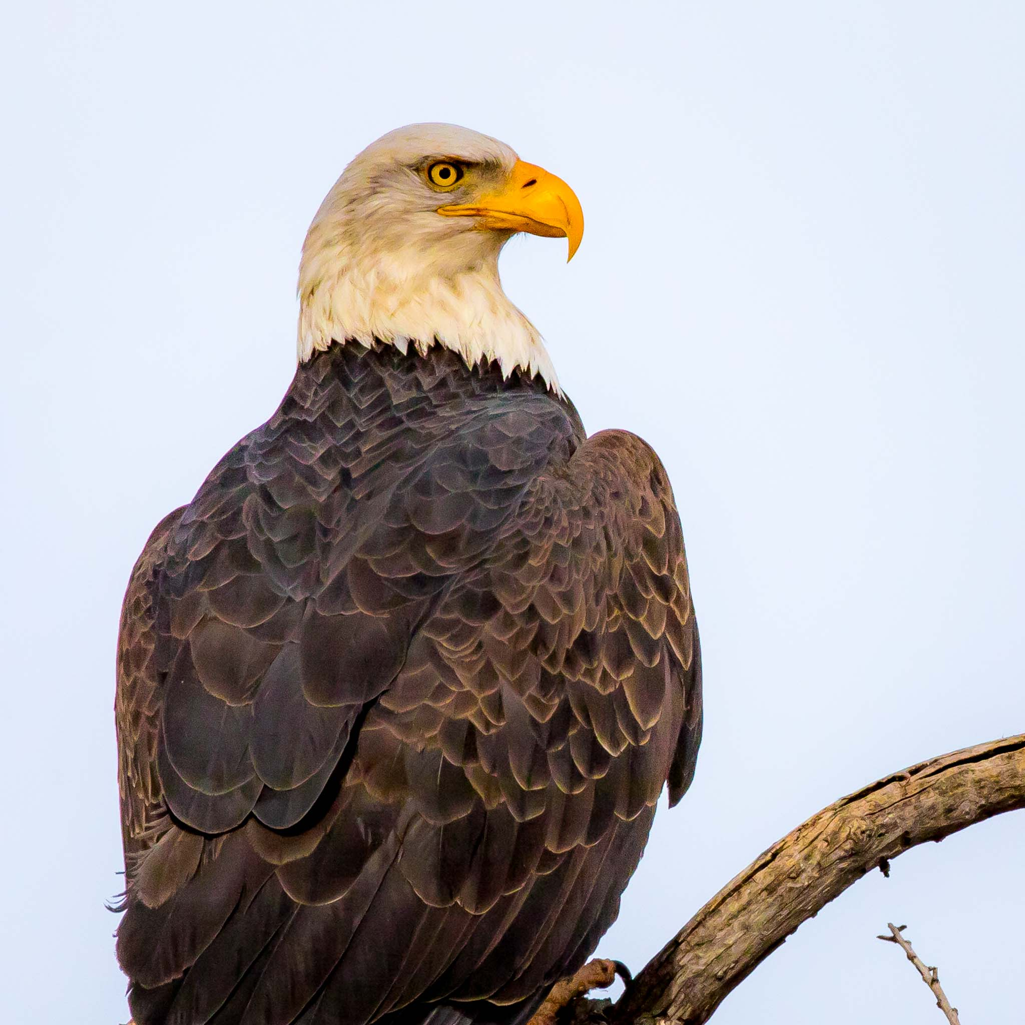 Bald Eagle perched on a limb, Bosque del Apache National Wildlife Refuge, San Antonio NM, December 31, 2017